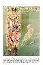 Vintage Scarce Hashime Murayama Fish Print ~ Sponges Squid Jellyfish Anemone ~
