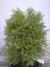 "(1) Little Giant Arborvitae Tree Thuja Occidenatlis 'little giant' 12""-18"""