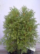 """(1) Little Giant Arborvitae Tree Thuja Occidenatlis 'little giant' 11""""-17"""""""