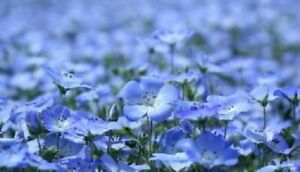 BLUE FLAX LINUM PERENNE Flower Seeds 30