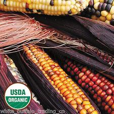 50 USDA Organic Seneca RED Stalker Indian Corn seeds USA heirloom Zea mays maize