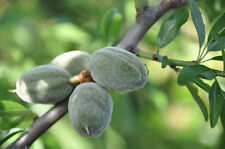 Aceite de almendra dulces orgánicos virgen puro 50 ml