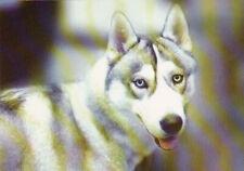 Polarhund * Schlittenhund * Husky * Malamute *  Dog  * Postkarte  Postcard  # 27