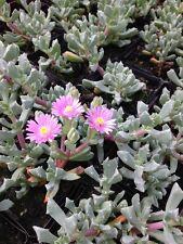 "OSCULARIA DELTOIDES ""ICE PLANT"" Garden Desert Succulent Plant Ground Cover"