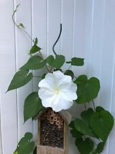 Moonflower Moon Flower Vine, Live Plant, not seeds, Night Blooming