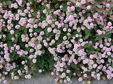 20 PUNCHING BALLS Pink Buttons Persicaria Capitata Polygonum Flower Seeds + Gift