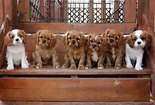 One Rosies Babies on the Stairs! Cavalier King Charles Spaniel Note card