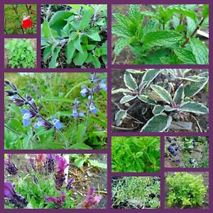 Herb Plant Cuttings - Your Choice Variety Volume Priced - Lavender, Lemon Thyme+