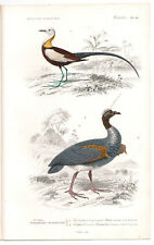 Original 1849 Oiseaux Imprimer Horned Screamer pl. 10, par Ch. Orbigny, atlas volume 1