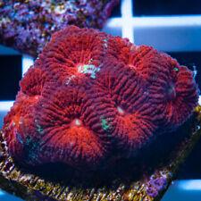 Unique Corals Wysiwyg, Uc Burgundy Favia