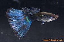 3 BREEDING PAIR OF THESE ELEGANT BLUE MOSCOW GUPPIES $77.77 SHIPPED!!!