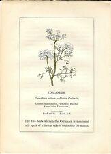 Stampa antica PIANTE DELLA BIBBIA CORIANDOLO Coriandrum 1842 Old antique print