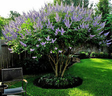 50 Vitex Chaste Tree or Monk's Pepper Tree Plant Seed