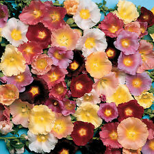 PERENNIAL FLOWER HOLLYHOCK ANTWERP MIX 100 FLOWER SEEDS ALCEA FICIFOLIA