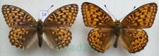 Argynnis niobe (Linnaeus, 1758) pair Czech1a