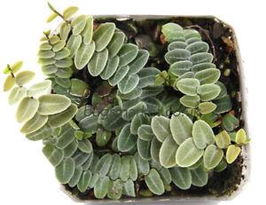 Marcgravia Species - Rare Terrarium Plant