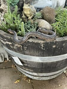 taxidermy mount elephant trunk snake Boa related lizard reptile turtle