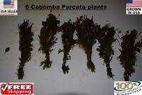 6 bunches RED Cabomba Furcata plants Easy Aquarium aquascaping planted tank
