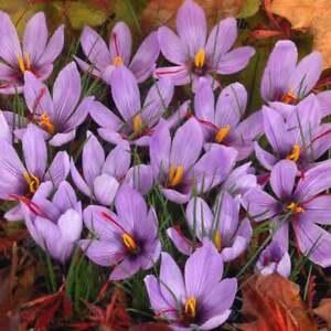 FREE SHIPPING USA-RARE Crocus Small Flowering Sativus, Saffron Bulbs Size 9/10cm