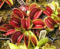 40X/lot Venus Maroon Flytrap Seed Carnivorous Grass Dionaea Succulent Muscipula