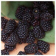 Blackberry Heirloom Thornless Giant Blackberry Vine Plant dormant 2-Ft Long vine