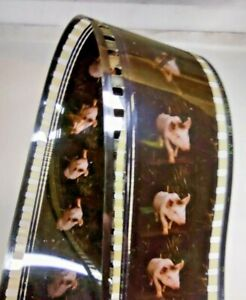 "BABE "" THE GALLANT PIG""  35mm FILM TRAILER - 1995 Classic Family Movie Reel"