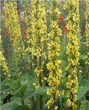 British Wildflower - Dark Mullein - Verbascum nigrum 2000 Seed