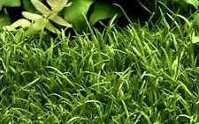 Microsword Clump Live Aquarium Plant - Easy to Grow java fish tank grass sag