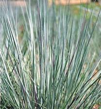 Ornamental Grass Seed - Andropogon Scoparius Prairie Blues seeds