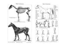 Pferd Anatomie Exterieur & Gangarten um 1895 Faksimile 1 nach Stahlstich 24a