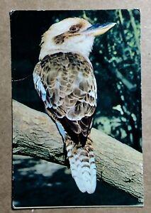 Kookaburra on a branch, coloured postcard - 1940s?