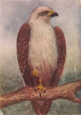 INDIAN BIRDS. The Brahminy kite 1943 old vintage print picture