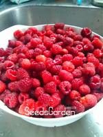 100 PCS Seeds Heritage Raspberry Garden Organic Bonsai Fruit Tree Plants NEW U P