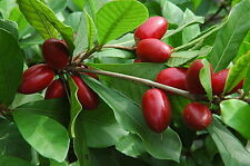 Miracle Berry Fruit Trees