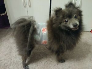 """""""Cumber-Blunder"""" Belly Band for Male Dogs - Gray with Colorful Paw Prints - M"""