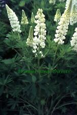 PERENNIAL FLOWER LUPIN RUSSELL NOBLE MAIDEN 90 FINEST SEEDS