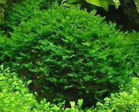 Pellia- Live Aquarium Plant Java Moss Fern Anubias Tank