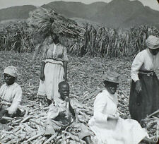 ANTIQUE PHOTO ON GLASS AGRICULTURAL SCENE SUGAR CANE PLANTING.