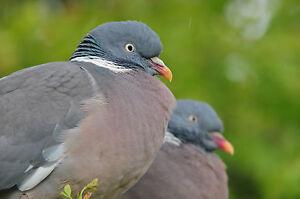 Wood Pigeons POSTCARD Bird Steve Greaves Print Card Photo Wildlife Nature Card