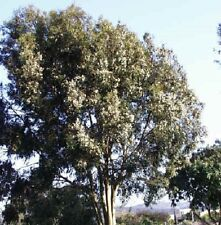 Eucalyptus - Citriodora - 100 Seeds