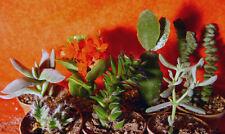 7er Set 2x Crassula Osterkaktus Kalanchoe Trichodiadema Oscularia Kaktus