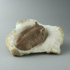 Asaphus intermedius Trilobite from Morocco (844.4 grams)