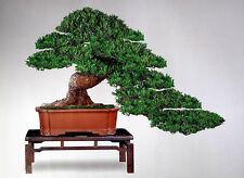 Podocarpus Seeds of Evergreen Bonsai Podocarpus Pine Tree macrophyllus Bonsai