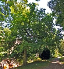 CELTIS OCCIDENTALIS- BEAVERWOOD TREE SEED- 5 SEEDS