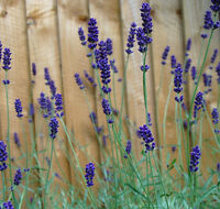 Lavender Seeds, Blue Hidcote, Blue Lavender Seeds, Perennial Heirloom Herb 50ct