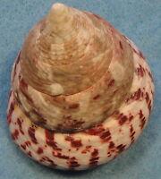 Tectus Conus 50X52X62mm Don Island Cebu,Philippines 5-10 meters Coral Reef