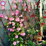 Climbing Mandevilla Sanderi Seeds Plants Dipladenia Bonsai Flower 100pcs/bag