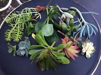 Succulent cuttings - Rare beautiful plants ready to root!