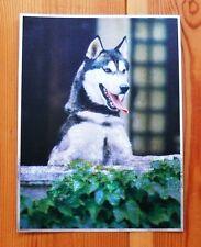 Alu-Bild Husky 16x21 cm, Alaska Schlittenhund, Wolf Hund Deko,Haustier Alubild