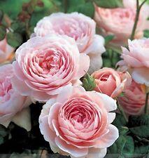 100 Pcs Rare Queen of Sweden Pink Rose Shrub Flower Seeds